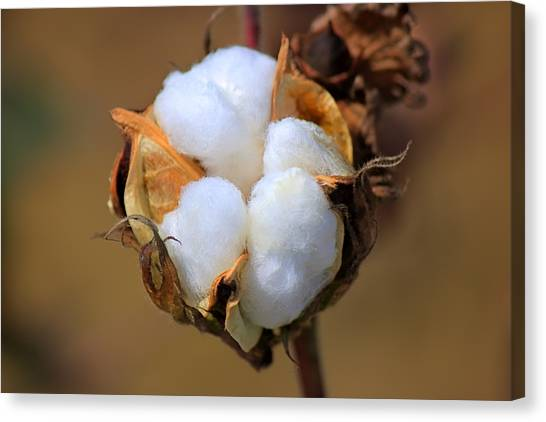 Cotton Boll Canvas Print