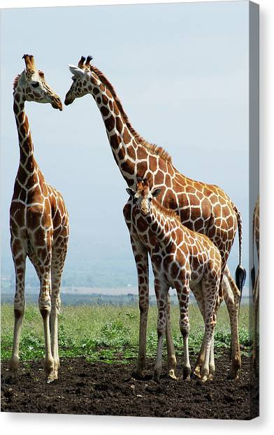 Wild Animals Canvas Print - Giraffe Family by Sallyrango