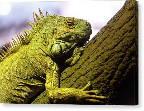 Iguanas Canvas Print - Green Iguana Of Nature Park by Victor Estevez