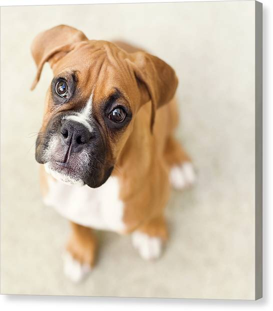 Boxer Dog Canvas Print - Innocence by Jody Trappe Photography