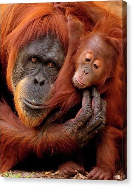 Orangutan Canvas Print - Mother And Baby by Andrew Rutherford  - www.flickr.com/photos/arutherford1