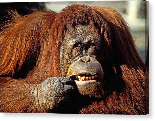 Orangutans Canvas Print - Orangutan  by Garry Gay