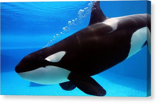 Orcas Canvas Print - Orca by Maye Loeser