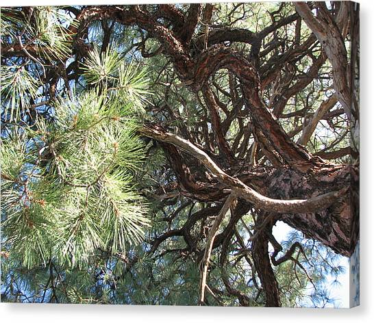 Pine-ally Looking Up Canvas Print