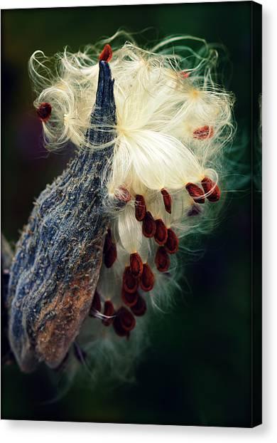 Release The Seed Milkweed Canvas Print