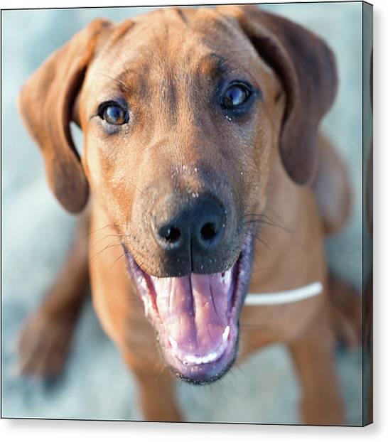 Pets Canvas Print - Ridgeback Puppy by Maarten van de Voort Images & Photographs