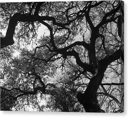 Tree Gazing Canvas Print by Lindsey Orlando