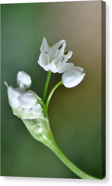 White Blossom 3 Canvas Print