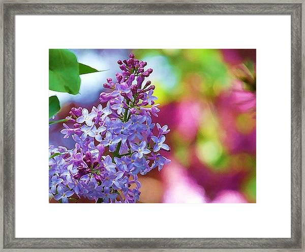 Lilacs 2012 Framed Print
