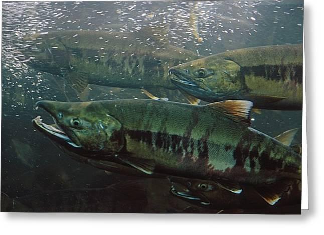 Closeup Of Chum Salmon Underwater @ Greeting Card by Peter Barrett