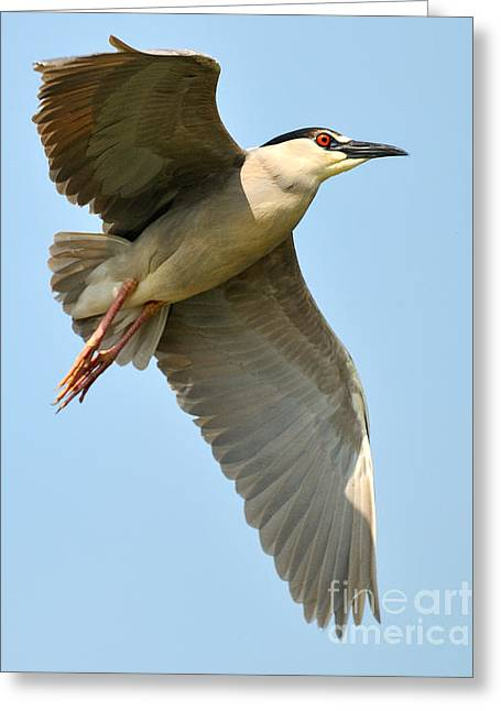Black Crown Night Heron Greeting Card