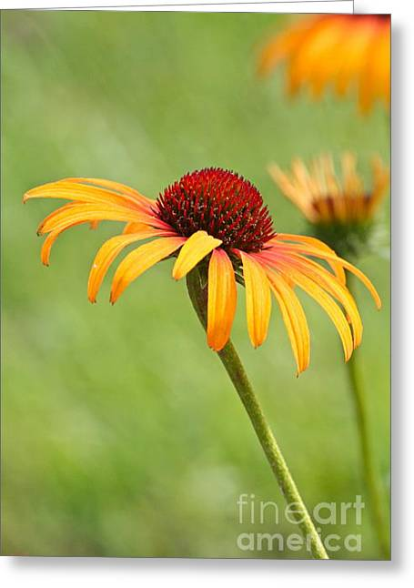 Greeting Card featuring the photograph Coneflower by Eve Spring