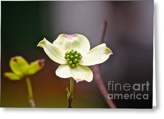 Greeting Card featuring the photograph Dogwood by Eve Spring