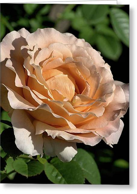 Greeting Card featuring the photograph Orange Rose by Joy Watson
