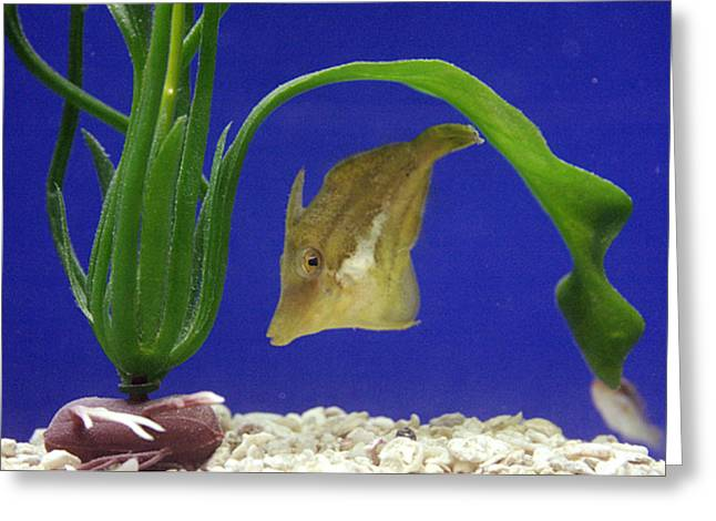 Sharpnose Puffer Fish Greeting Card by Chris Martin-bahr