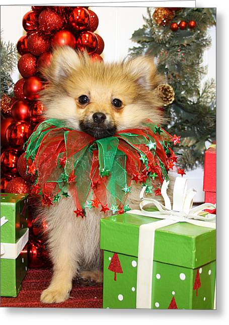 Christmas Portraits - Pomeranian Greeting Card by Renae Laughner