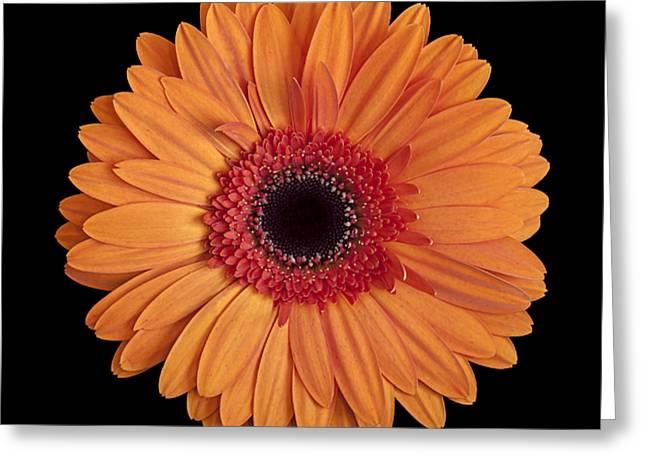 Orange Gerbera Daisy On Black Greeting Card by Zoe Ferrie
