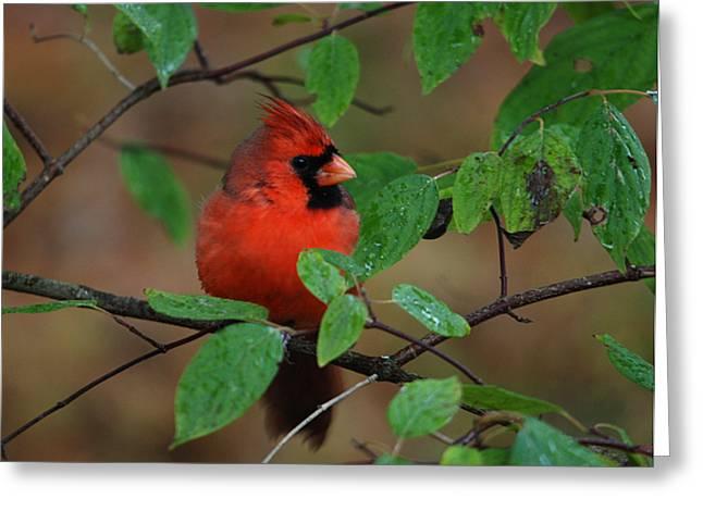 Northern Cardinal Greeting Card by Perry Van Munster