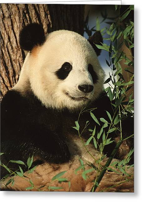 A Close View Of A Panda Greeting Card by Taylor S. Kennedy