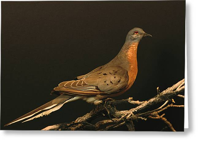 A Stuffed And Mounted Passenger Pigeon Greeting Card