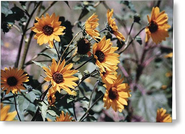 Greeting Card featuring the photograph Arizona Sunflowers by Juls Adams