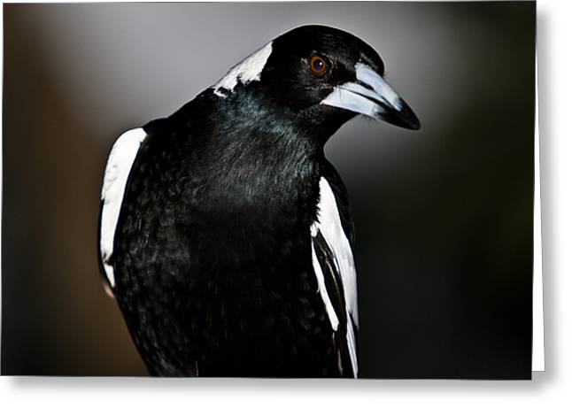 Australian Magpie Greeting Card by John Buxton