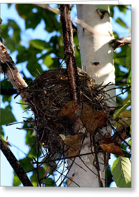 Bird Nest In Birch Tree Greeting Card