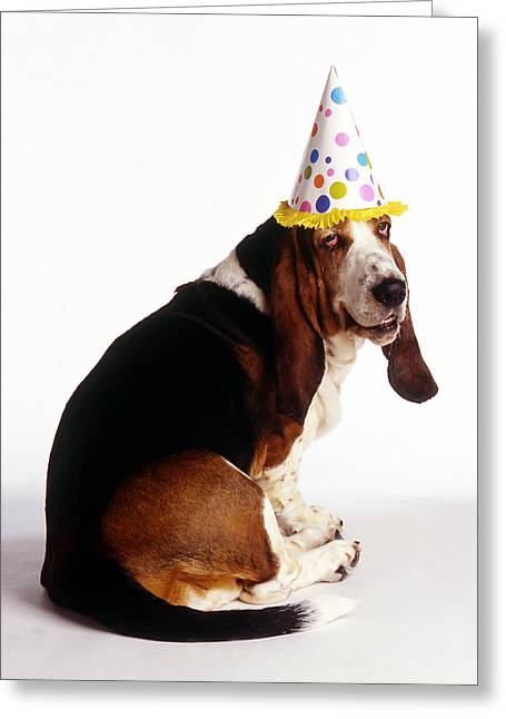 Birthday basset hound photograph by stan fellerman birthday basset hound greeting card by stan fellerman bookmarktalkfo Gallery