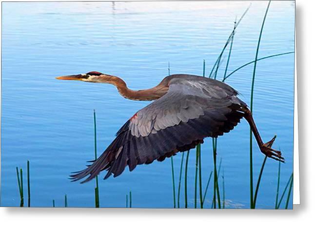 Blue Heron Flight Greeting Card by Nick Diemel