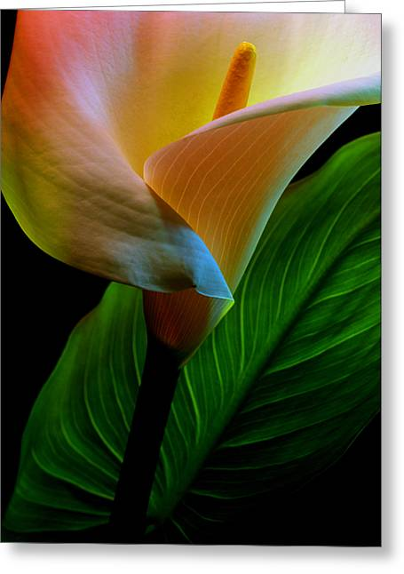 Calla Lily Greeting Card by Dung Ma