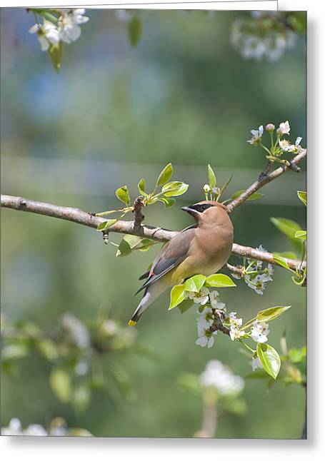 Greeting Card featuring the photograph Cedar Waxwing by Margaret Palmer
