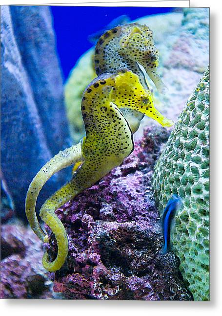 Colorful Seahorses Greeting Card by Jim and Emily Bush