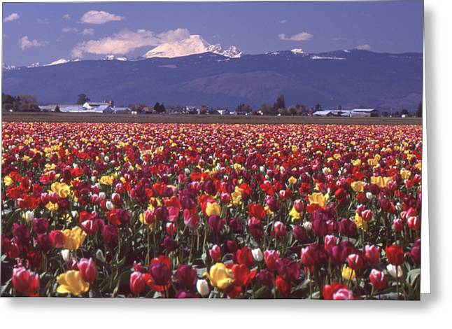 Field Of Tulips And Mount Baker Greeting Card