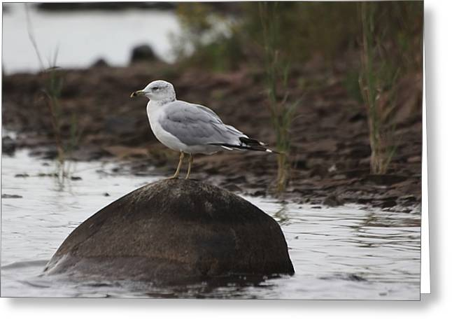 Gull On A Rock Greeting Card