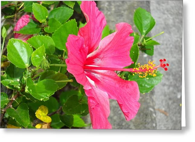 Greeting Card featuring the photograph Hawaiian Pink Beauty by Yolanda Koh