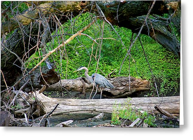 Heron Habitat Greeting Card by Sue Stefanowicz