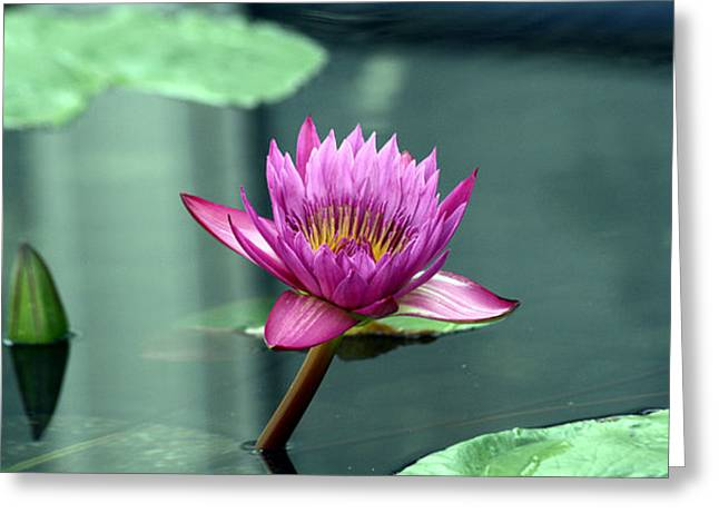 Hot Pink Water Lily Greeting Card