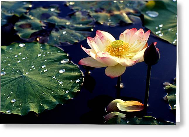 Lotus In Water Greeting Card