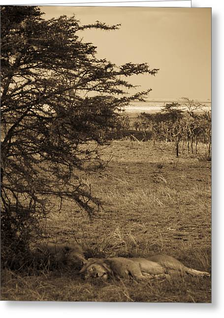 Male Lions Snoozing In Shade Greeting Card by Darcy Michaelchuk
