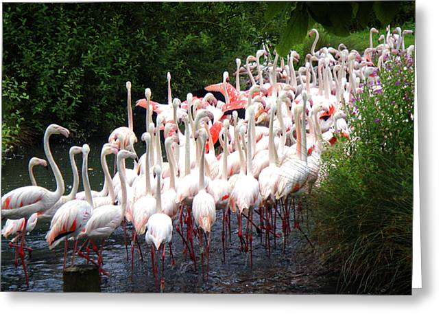 March Of The Flamingos Greeting Card by Roberto Alamino