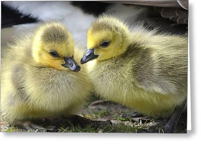 Mini Quackers Greeting Card