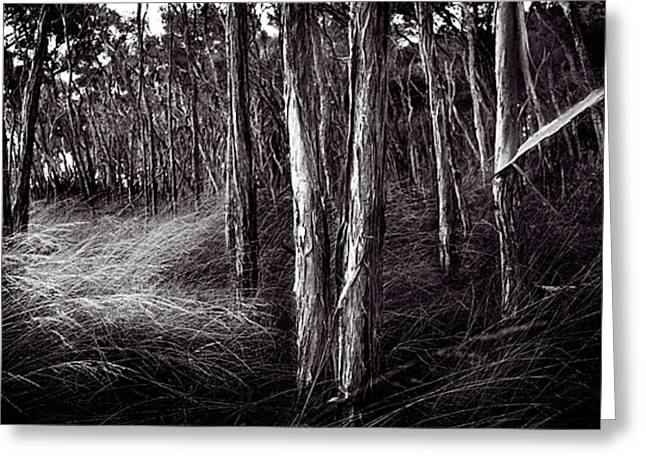 Paperbark Forest Greeting Card by Tim Nichols