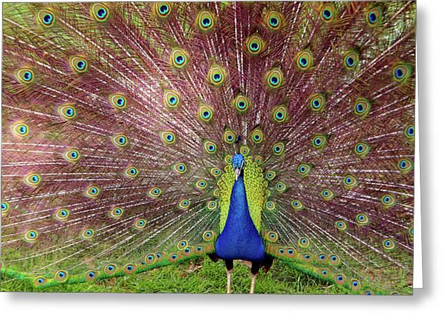 Peacock Greeting Card by Carlos Caetano