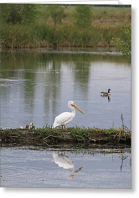 Greeting Card featuring the photograph Pelican Reflection by Alyce Taylor