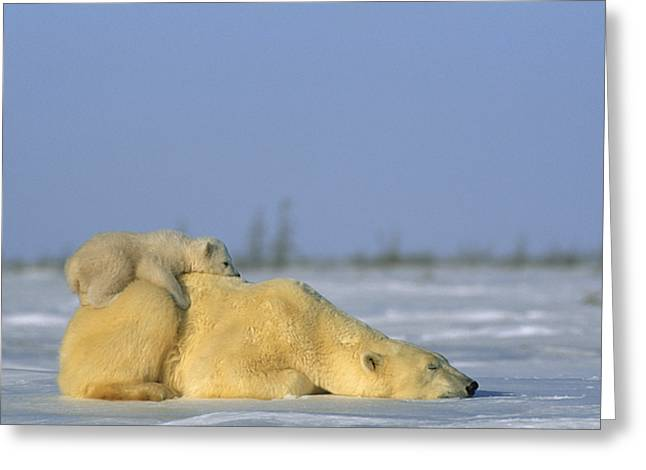 Polar Bear And Her Cub Resting Greeting Card by Norbert Rosing