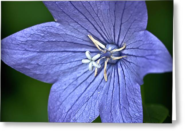 Purple Balloon Flower Greeting Card by  Onyonet  Photo Studios