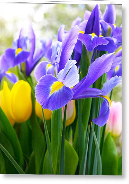 Purple Iris On A Spring Day Greeting Card by Daphne Sampson