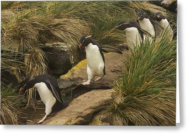 Rockhopper Penguins, Eudyptes Greeting Card by Ralph Lee Hopkins