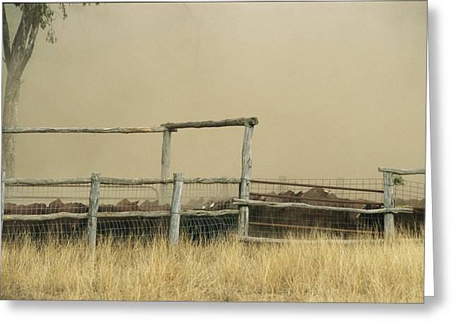 Santa Gertrudis Cattle Create A Dust Greeting Card by Jason Edwards