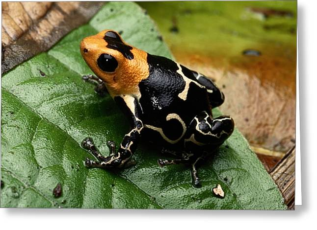 This Is The Poison Frog Dendrobates Greeting Card by George Grall